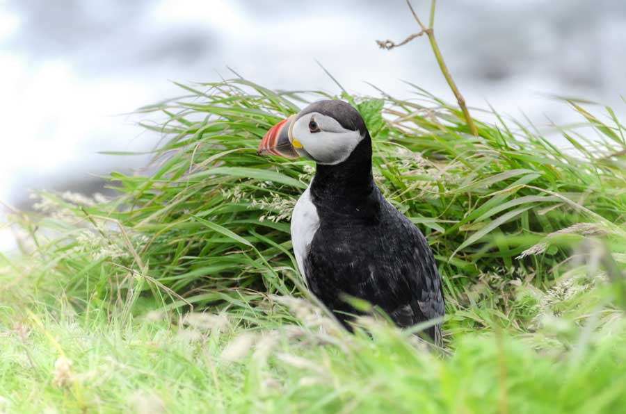 Puffins have made a big comeback after rats were culled on Lundy Island.