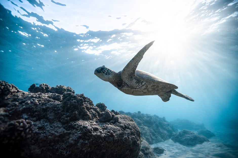 Turtle swimming in the sea with the sunlight hitting the water